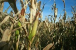 corn crops harvest farmer farm farming