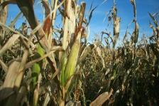 corn crops harvest farmer farm farming