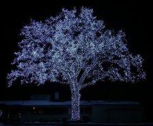 glowing oak tree in bloomington