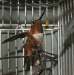 Rufous hummingbird found in St. Paul
