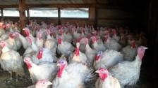 Turkey farm in Minnesota