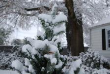christmas tree pine close up snow