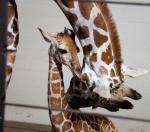 como-zoo-giraffe