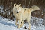 iStock_Gray Wolf