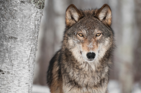 ISTOCK GETTY REUSE OK_gray-wolf