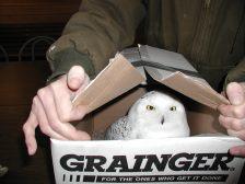 snowy-owl-wildwoods