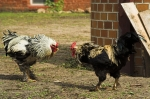 Cockfighting iStock