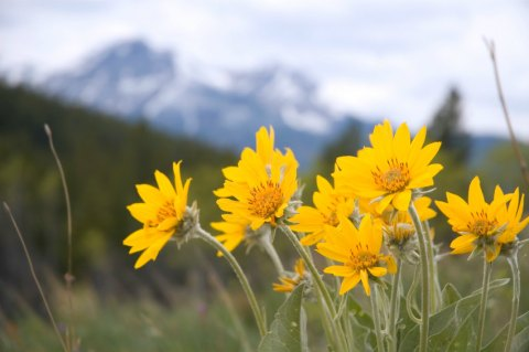 Arnica wildflowers are used to make a pain-fighting ointment.