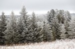 Frost Covered Evergreen Trees