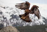 iStock–golden-eagle