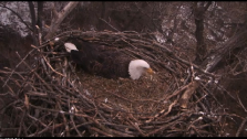 The mother, captured on EagleCam, is keeping her eggs warm.