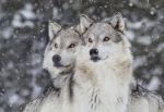 iStock_gray wolves in snow