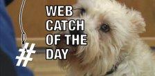 Sissy the schnauzer 2 Web Catch overlay