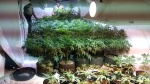 Duluth Township Police confiscated 77 marijuana plants ranging in size from 16 inches to five feet in a $100,000 bust. (Duluth Township Police)