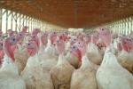 ISTOCK OK TO REUSETurkey bird flu
