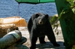 Black bear at boat launch_iStock