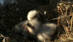Eaglets EagleCam DNR
