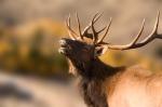 iStock_elk