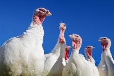 iStock_turkeys