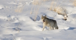 ISTOCK GETTY REUSE OK-grey-wolf