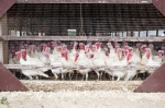iStock OK TO REUSE _turkey-farm