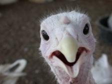 iStock_turkey