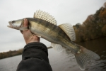 iSTOCK OK TO REUSE Walleye caught on gloomy autumn day