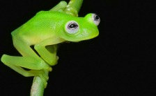 New glass frog 2