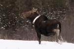 Collared moose DNR