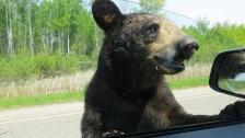 bear at car window beltrami sheriff