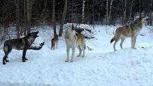 international-wolf-center-wolves