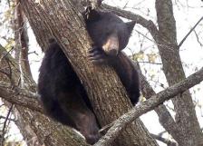 Black bear Duluth