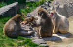 snow-monkey-mn-zoo-1