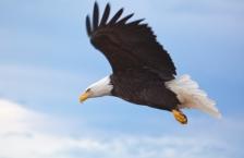 iStock-bald-eagle