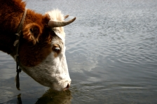 iStock_cow-drinking