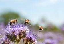 Istock_honey-bee-flower