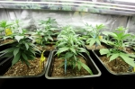 iStock OK TO REUSE _marijuana-cannabis-growing
