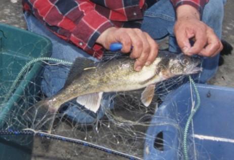 walleye fish net