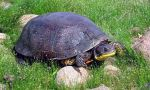 A Blanding's turtle
