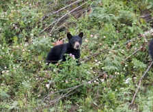 iStock_black-bear