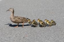iStock_ducks