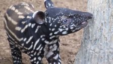 A baby tapir born at the Minnesota Zoo on July 30, 2015.