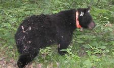 A radio-collared black bear is part of Minnesota DNR research into the animals.