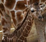 Como-Zoo-baby-giraffe