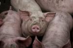 iStock_hog-pig