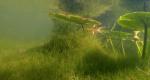 Starry stonewort