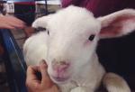 lamb-state-fair