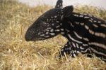 tapir-mn-zoo