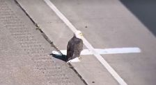This injured eagle was sitting on the side of Hwy. 53 in Eau Claire, Wis. Sept. 30, 2015.