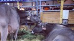 minnesota state fair cows sept 1 2015